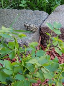 Toad on a  Brick